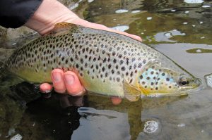 rooster tail for trout